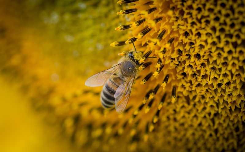 beneficii ale polenului